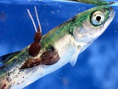 Sea lice on salmon fry. Apply the precautionary principle.