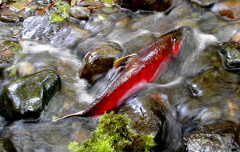 A coho spawning in a small stream (Washington Dept. of Fish and Wildlife)