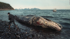 Beached whale in Prince William Sound, 25 years after the Exxon Valdez oil spill.